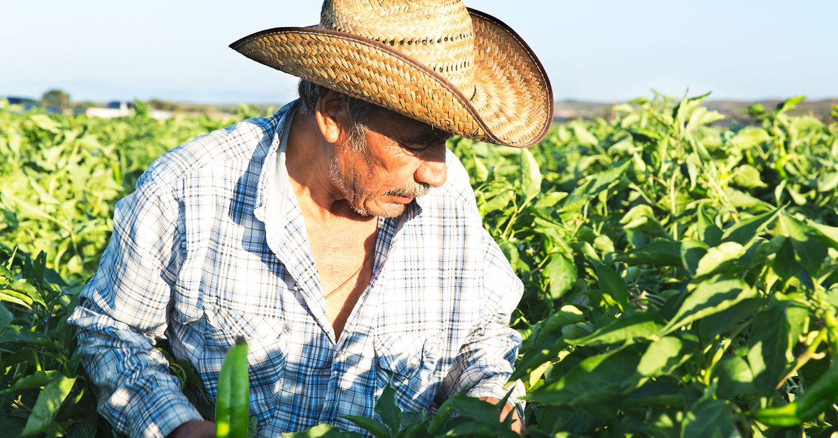 Worker Picking hatch Chiles